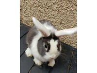 pet home mini lop female