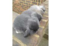 Blue Dwarf Lop babies