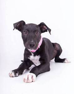 Adopt Skye 5mth Bull terrier x North Ward Townsville City Preview