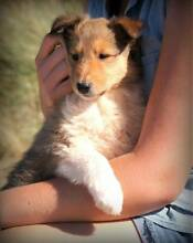 Collie Rough (Lassie) Puppies for sale! Only 5 left! Forth Central Coast Preview