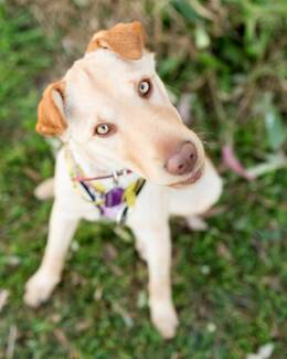 ADOPT ME - Dakota, loving puppy looking for a home! Ipswich Ipswich City Preview