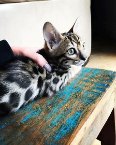 Bengal Kittens For Sale TICA Registered BOY
