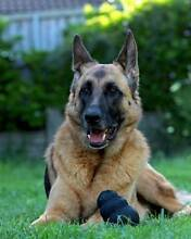 6 year old female German Shepherd - obedience trained & desexed Norman Park Brisbane South East Preview
