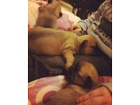 3/4 Chihuahua And 1/4 Pug Pups For Sale