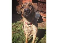 1 Year & 7 Month Old German Shepherd Cross Labrador Needing A Home