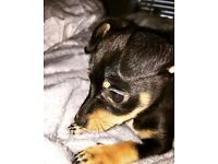 Jack-chi Puppy for sale (Jackhuahua)