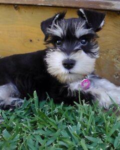 Miniature schnauzer pups registered Malmsbury Macedon Ranges Preview