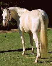 Cremello QH standing at stud  Q-71499 $550 limited time Wamuran Caboolture Area Preview