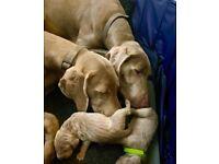 Stunning Weimaraner Puppies