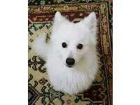 Selling cute japanese spitz , 2 years and a half old