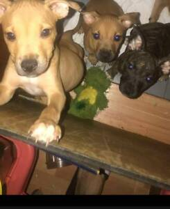 American Staffy Puppies. Vet Checked, Vacc, M'chipped, Wormed