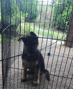 GERMAN SHEPHERD PUPPY EXCELLENT BLOOD LINES ( GERM ) Bargo Wollondilly Area Preview