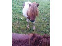 2 Lovely skewbald shetland pony mares for sale