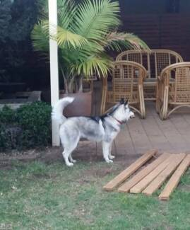 Pure Bred Husky for sale Northgate Port Adelaide Area Preview