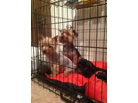 4 months old Yorkshire terrier puppy for sale