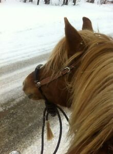 Haflinger Mare fore lease