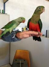 Young Alexandrine and King Parrots Port Pirie Port Pirie City Preview