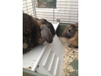 2 male rabbits to a good home