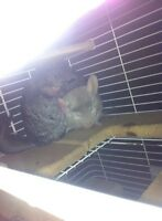 2 friendly male chinchillas