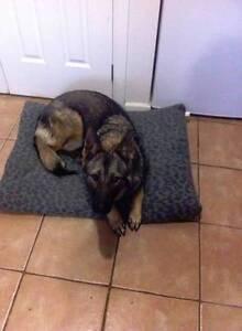 MISSING DOG (GERMAN SHEPHERD) Melton West Melton Area Preview