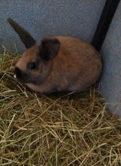 2 rabbits free to good home  Templestowe Lower Manningham Area Preview