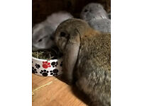 French Lop Baby Rabbits For Sale