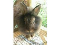 Rabbit lion head 2 y old for sale with cage