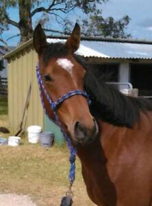 3yo Quarter Horse x Welsh pony Tenterfield Tenterfield Area Preview