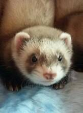 Tracey's Ferretry - Perth Ferrets Available Stratton Swan Area Preview