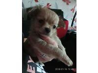 Chihuahua long haiered boy bright brown