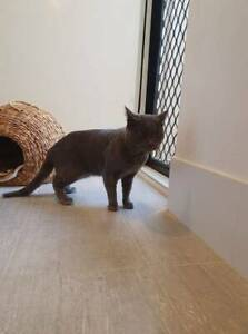 JUSTIN (IF010-20) - rescue cat FIV  - *Vet Work Included* Brookdale Armadale Area Preview