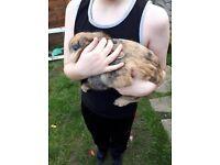 male lionhead cross dwarf rabbit