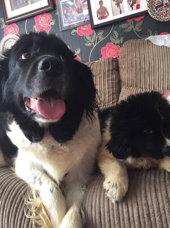 Landseer Newfoundland Puppies For Sale | in Bridgwater, Somerset | Gumtree