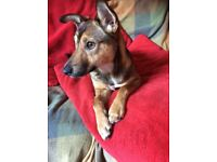 Sweet, friendly, super-active terrier cross 18 months - needs to live with another dog