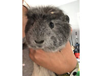 2 Male guinea pigs 4 months old