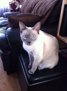 4 year old Siamese cat