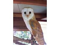 BARN OWL NEEDS FOREVER HOME