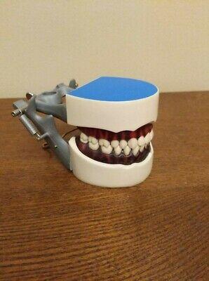 Colombia Dentoform Typodont - Dental Hygiene