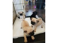 Male and female pug puppies for sale!