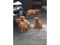 Dogue de bordeaux butch pups .