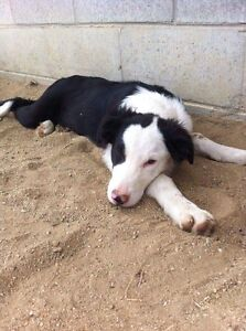 6 month old Border Collie full male Mount Larcom Gladstone Surrounds Preview