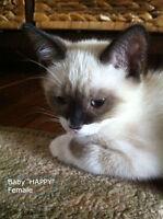 Snowshoe/Siamese-ragdoll Kittens