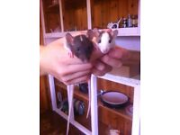 2 YOUNG FEMALE FANCY RATS 5 MONTHS OLD