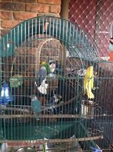 Masked Love birds for sale Ningi Caboolture Area Preview