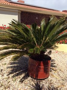 Cycad Revoluta Sago Palm Fremantle Fremantle Area Preview