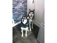 2x Beautiful Loving Siberian Husky Male & Female For Sale !!!!!!!
