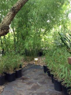 CLUMPING BAMBOO, NON-INVASIVE, ORNAMENTAL PLANTS Lower Plenty Banyule Area Preview