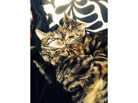 Two 3 year old cats for sale