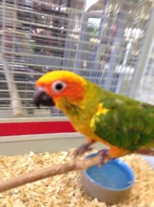 Hand raised Janday Conures Ramsgate Rockdale Area Preview