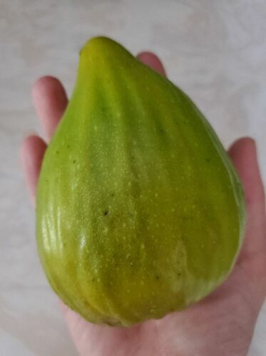 2 Rare Giant Fig Unrooted Cuttings